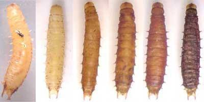 Kỹ thuật nuôi ong ký sinh phòng trừ bọ dừa quy mô nông hộ - ky thuat nuoi ong ky sinh phong tru bo dua quy mo nong ho 2
