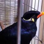 Chim nhồng có khả năng hót hay